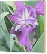 First Iris Of The Spring Wood Print