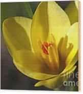 First Yellow Crocus Wood Print