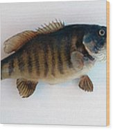 Fish Mount Set 10 A Wood Print