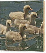 Five Baby Geese Swimming Wood Print