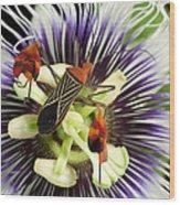 Flag-footed Bug Anisocelis Flavolineata Wood Print