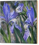 Flag Irises (iris Missouriensis) Wood Print