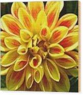 Flaming Dahlia Wood Print