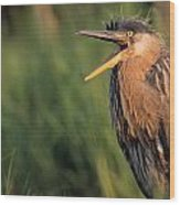 Fledgling Great Blue Heron Wood Print