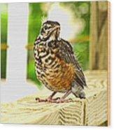 Fledling Robin Wood Print