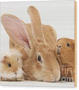 Flemish Giant Rabbit With Guinea Pigs Wood Print