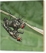 Flies Mating Wood Print
