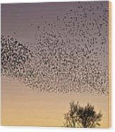 Flock Of European Starlings Wood Print