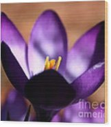 Catching Crocus  Wood Print