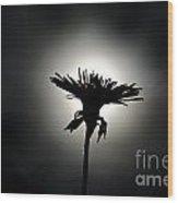 Flower In Backlight Wood Print