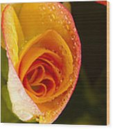 Flower Rieger Begonia 5 Wood Print