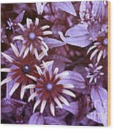 Flower Rudbeckia Fulgida In Uv Light Wood Print by Ted Kinsman