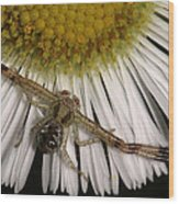 Flower Spider On Fleabane Wood Print