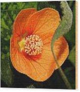 Flowering Maple Single Flower 2 Wood Print
