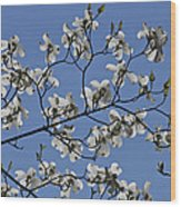 Flowering White Dogwood Wood Print
