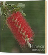 Flowers Of New Zealand 1 Wood Print