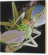 Fly Eating Another Fly, Sem Wood Print by Volker Steger