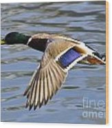 Flying Duck Wood Print