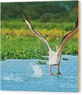 Flying Great White Pelican Wood Print by Anna Om