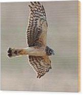 Flying Harrier Wood Print