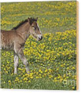 Foal In Field Wood Print by Conny Sjostrom