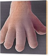 Foetal Hand, Sem Wood Print