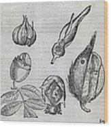 Foetal Plants, 16th Century Artwork Wood Print