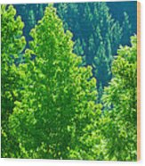 Forest Illuminates In The Sunlight  Wood Print