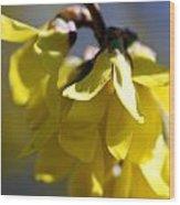 Forsythia Blossoms Wood Print