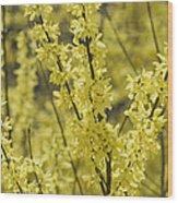 Forsythia In Full Bloom Wood Print