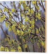 Forsythia 'minigold' Flowers Wood Print