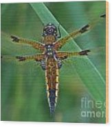Four-spotted Chaser Dragonfly 5 Wood Print