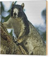 Fox Squirrel Wood Print by Phill Doherty