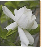 Fragrant White Gardenia Blossom Wood Print