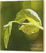 Fresh Peas Wood Print by Artist and Photographer Laura Wrede