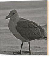 Friendly Gull Wood Print