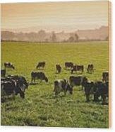 Friesian Cattle Cattle Grazing Wood Print
