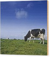 Friesian Cow Grazing In A Field Wood Print