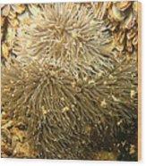 Frilled Sea Anemone Wood Print
