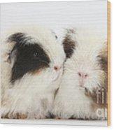 Frizzy Alpaca Guinea Pigs Wood Print