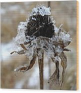 Frost And Snow On Dead Daisy Wood Print