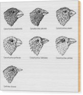 Galapagos Finches, Artwork Wood Print