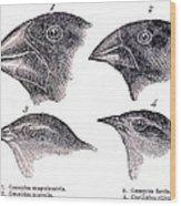 Galapagos Finches Wood Print