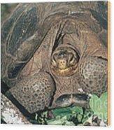Galapagos Giant Tortoise Wood Print