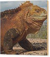 Galapagos Land Iguana Conolophus Wood Print
