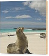 Galapagos Sea Lions Resting On A White Wood Print by Annie Griffiths
