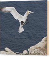 Gannet Landing Wood Print