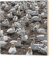 Gannets Showing Fencing Behavior Wood Print