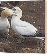 Gannets Showing Mutual Preening Behavior Wood Print