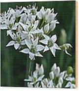 Garlic Chive Blooms Wood Print